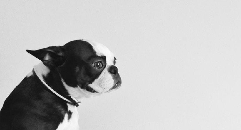 Lulo The Boston Terrier 6