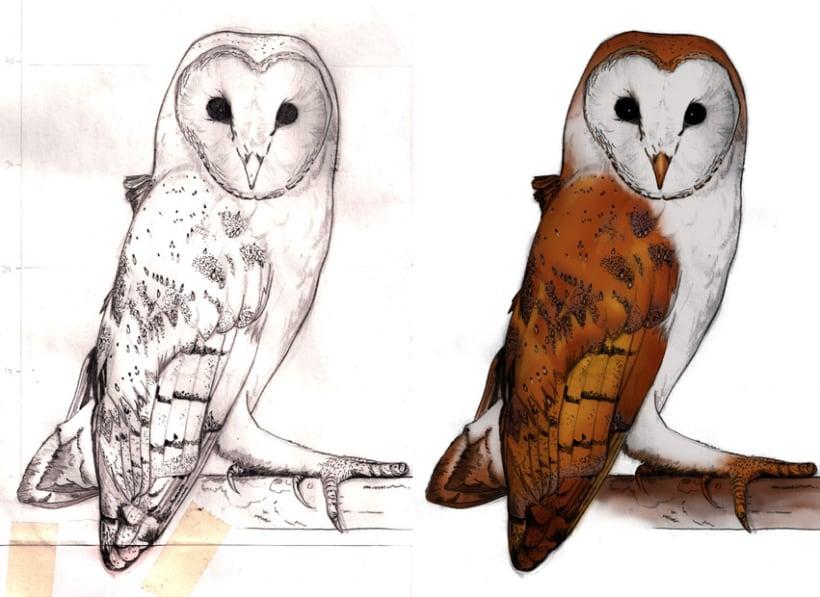 Ilustración científica - Búhos y Lechuzas 3