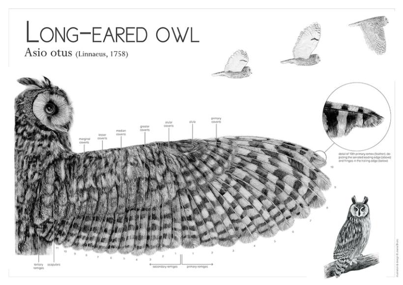 Long-eared owl wing 0