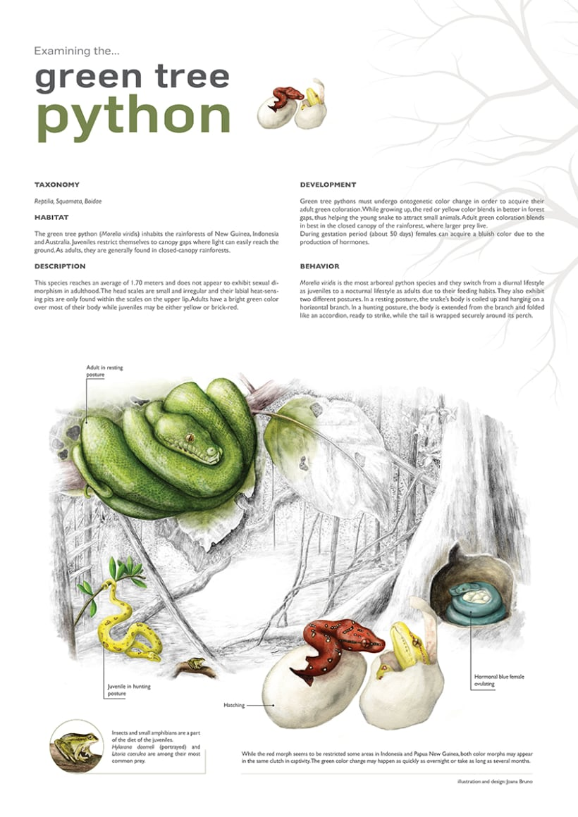 Green tree python life cycle -1