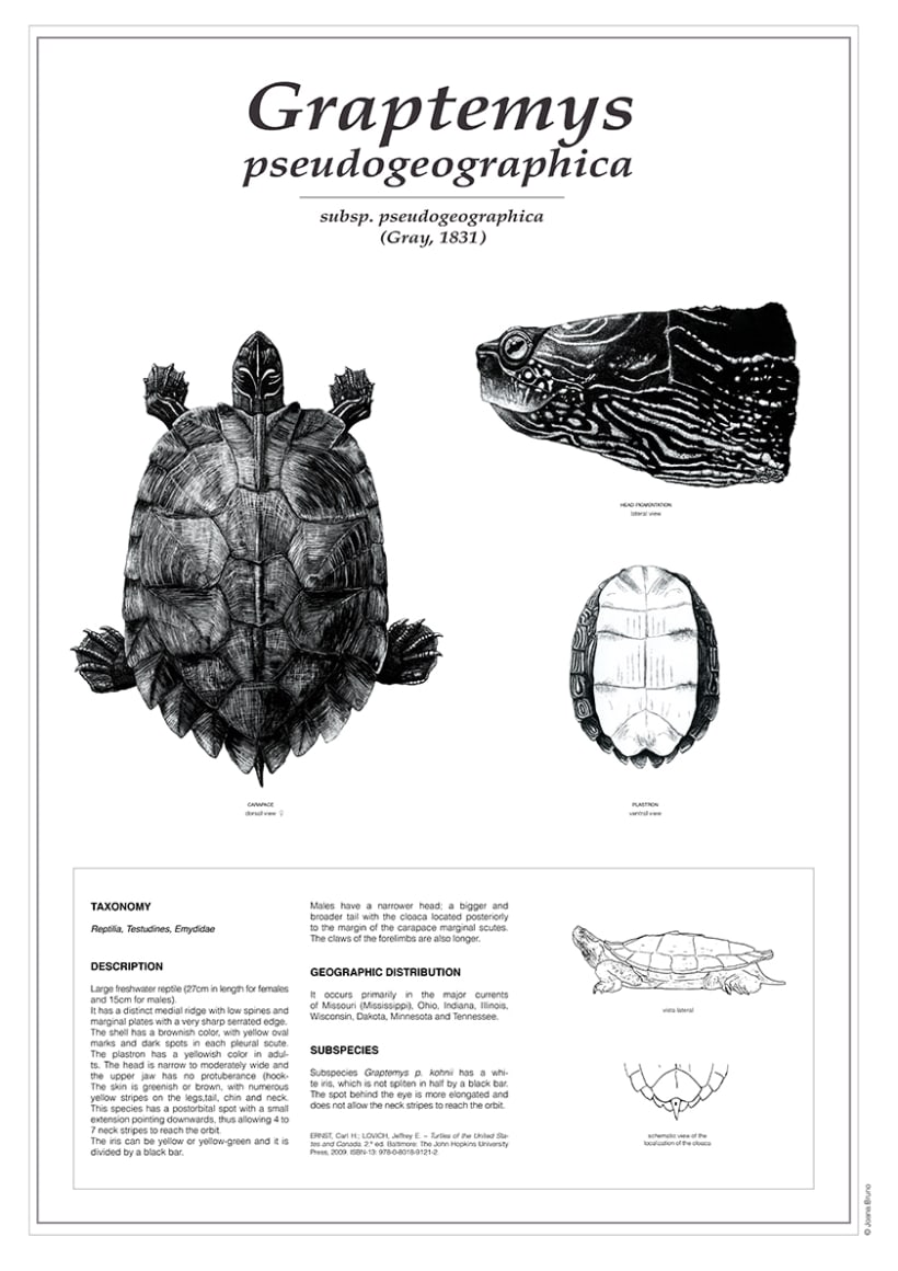 False map turtle (holotype drawing) -1