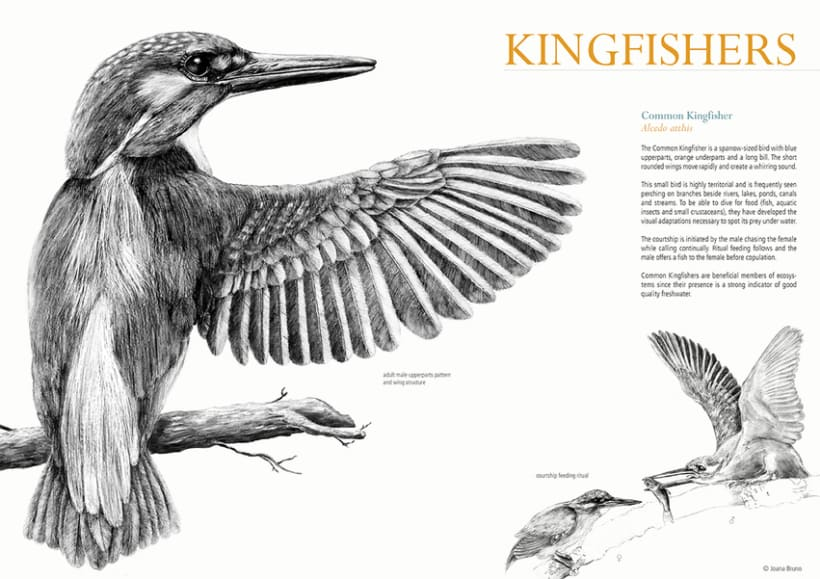 Common kingfisher wing -1