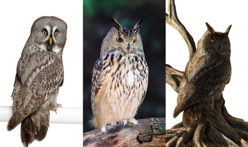 King Owl 8