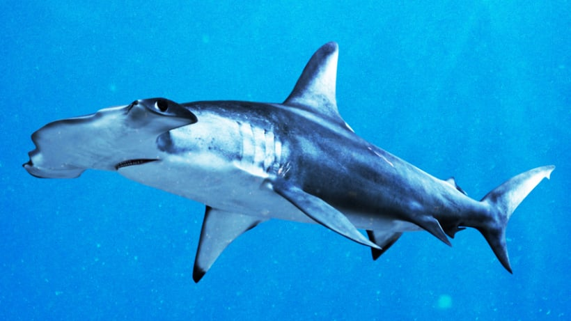 Hammerhead shark 0