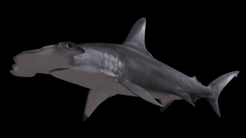 Hammerhead shark 3