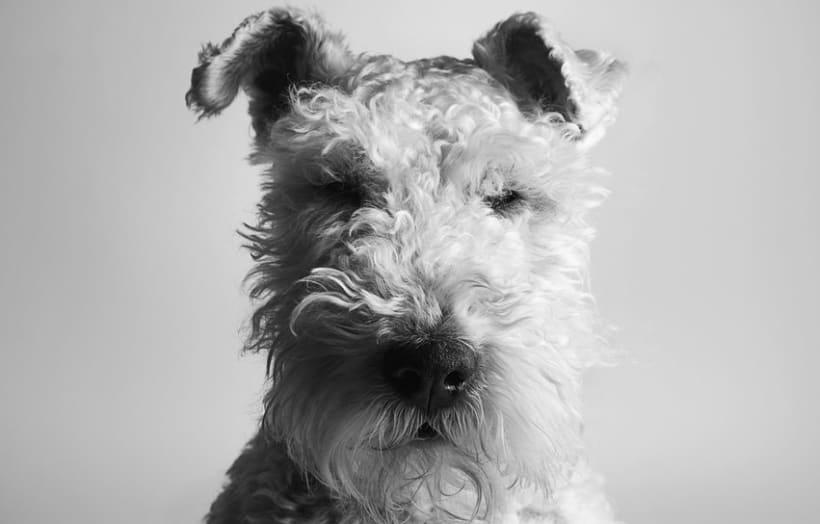 Retrato Fox Terrier (Golfo) -1