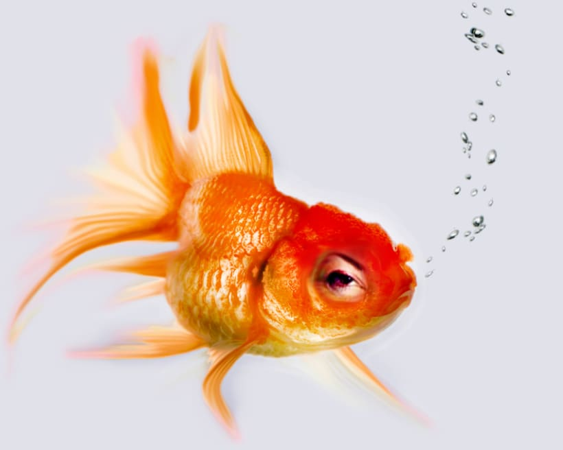 Goldfish Series -1