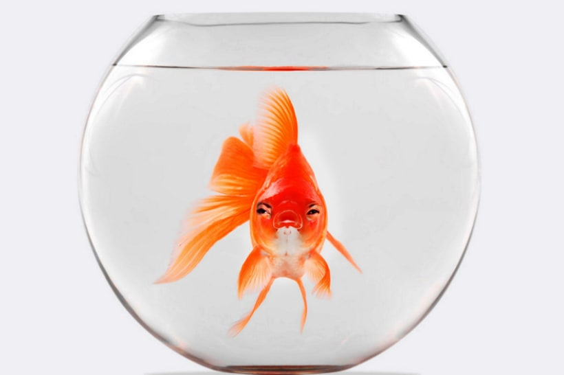 Goldfish Series 2