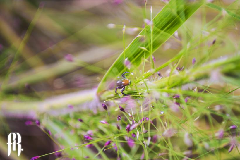 Fotografía Araña Salticidae -1