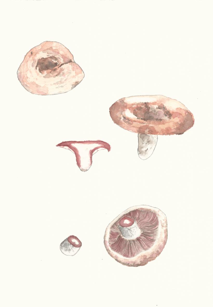Lactarius 0