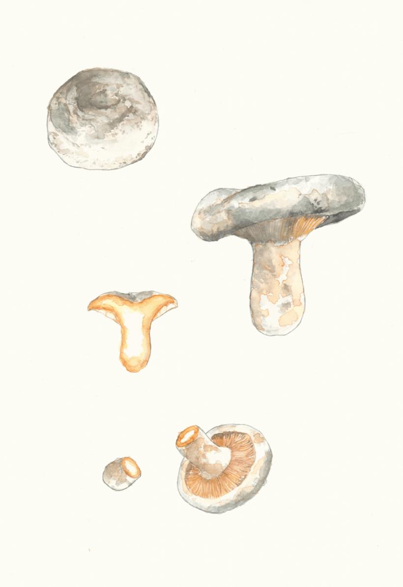 Lactarius 2