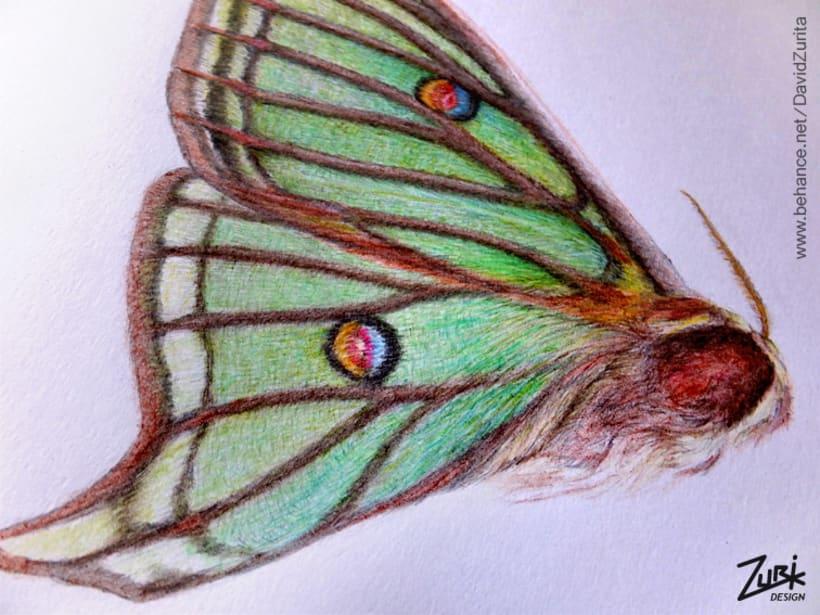 Ilustracion científica de la mariposa: Graellsia isabelae. 5