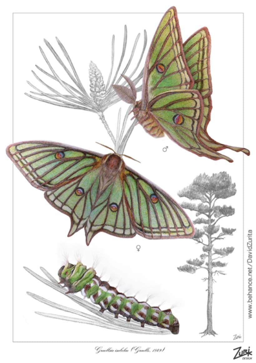 Ilustracion científica de la mariposa: Graellsia isabelae. 3