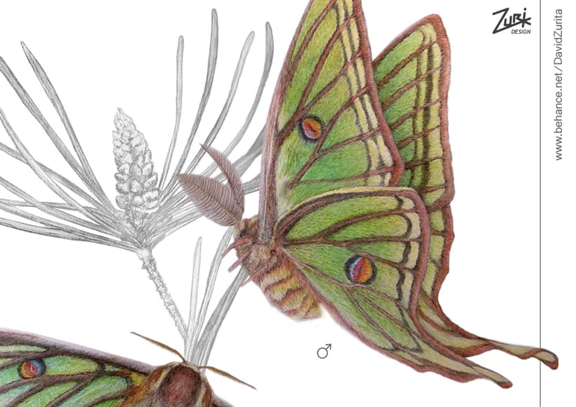 Ilustracion científica de la mariposa: Graellsia isabelae. 1