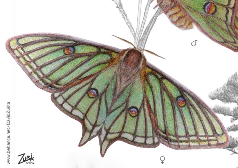 Ilustracion científica de la mariposa: Graellsia isabelae. 0