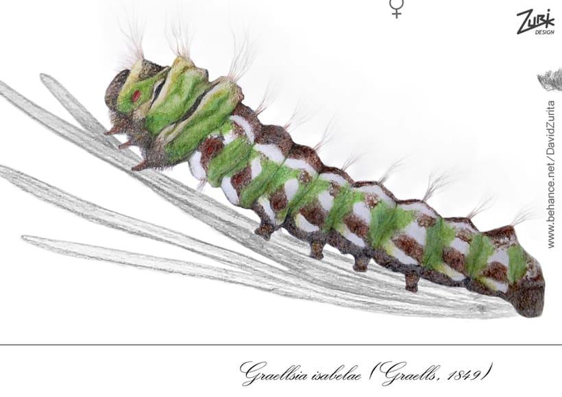 Ilustracion científica de la mariposa: Graellsia isabelae. 2