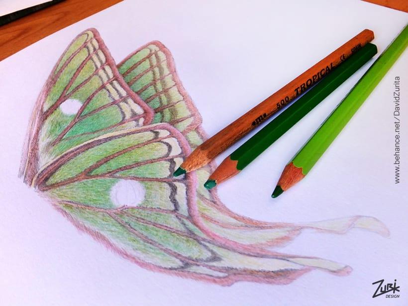 Ilustracion científica de la mariposa: Graellsia isabelae. 6
