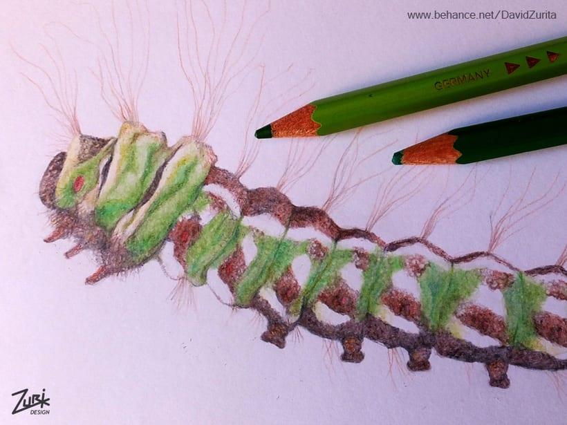 Ilustracion científica de la mariposa: Graellsia isabelae. 8