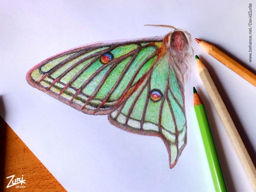 Ilustracion científica de la mariposa: Graellsia isabelae. 7