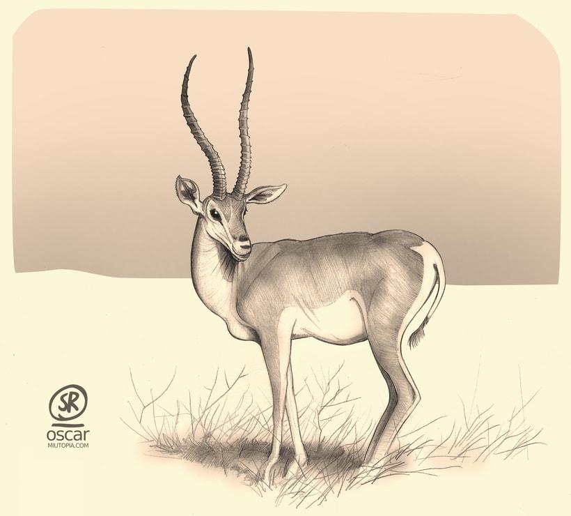 Gacela, ilustración para revista de naturaleza (lapiz, papel y Gimp) -1