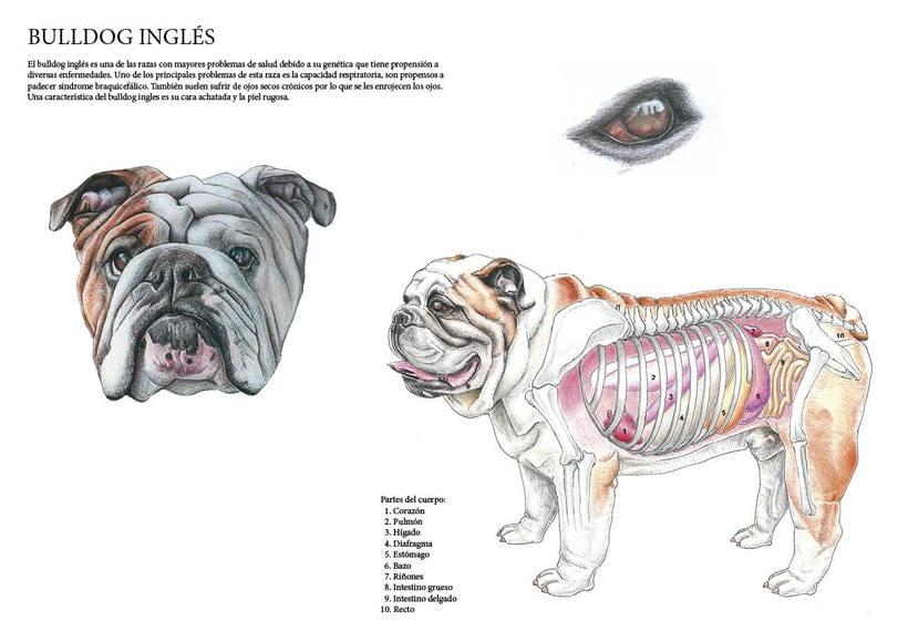 Ilustración científica bulldog inglés -1