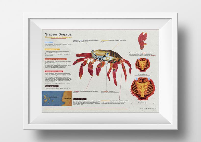 Infografía Cangrejo de las Islas Galápagos 1