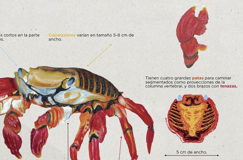 Infografía Cangrejo de las Islas Galápagos 4