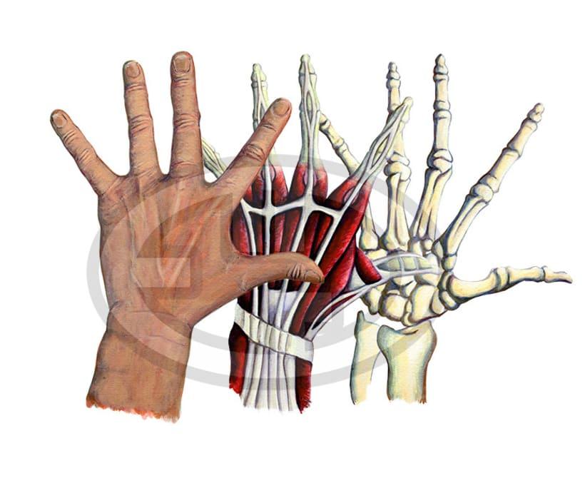 Anatomia de la mano -1