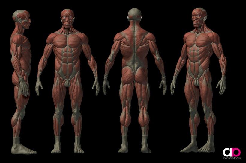 Male Anatomy Study - Ecorché | Domestika