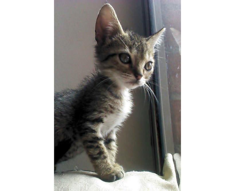 Adopción de Gatos en Bogotá 2