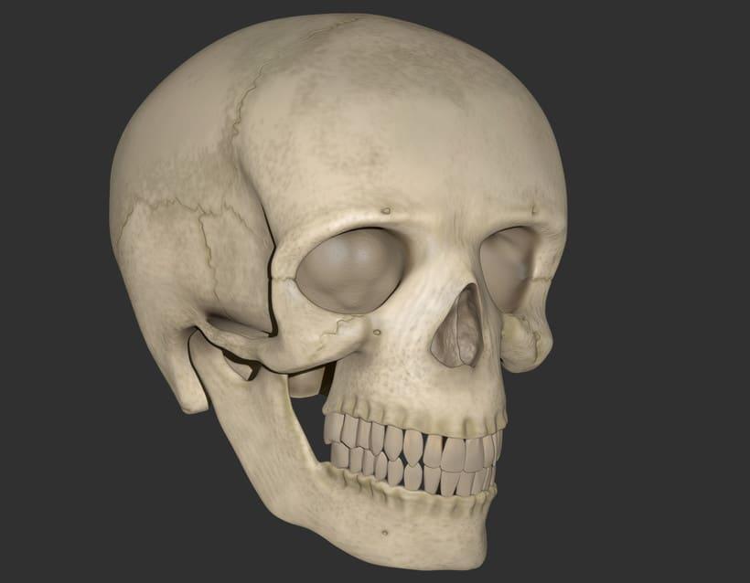 Cráneo Humano 2