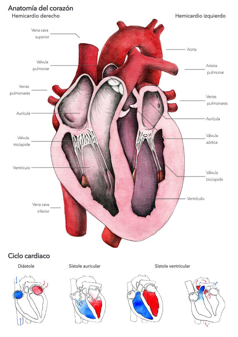 """""""Heart anatomy"""", un proyecto para Il·lustraciència 1"""