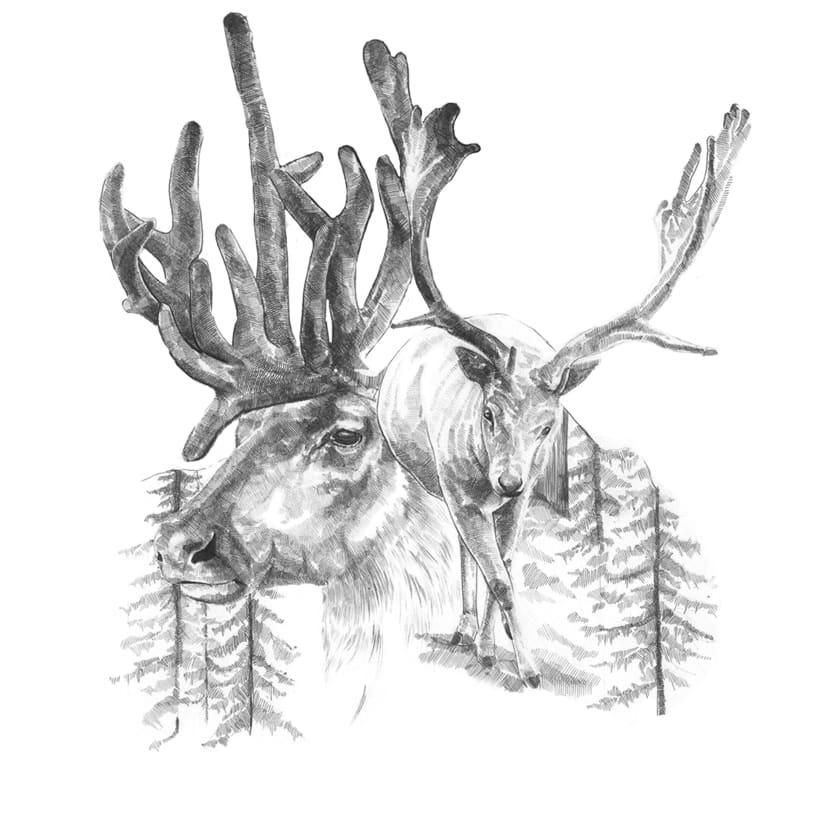 Reindeer -1