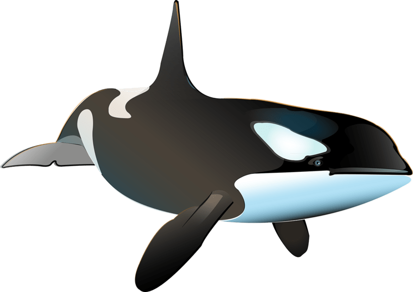 Killer Whale Inphography  4