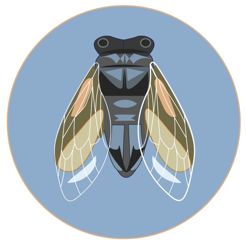 Cicada  -1