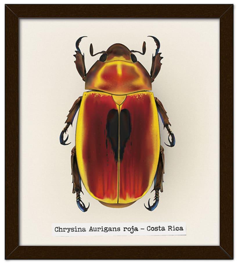 Chrysina Aurigas roja 1