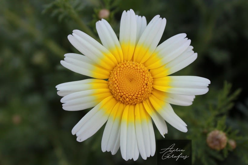 Flor de primavera  0