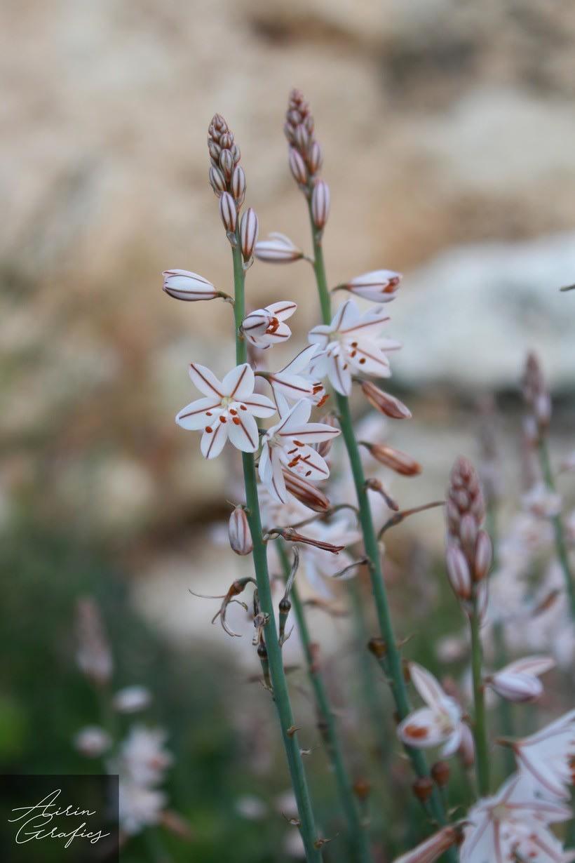 Flor de primavera  1