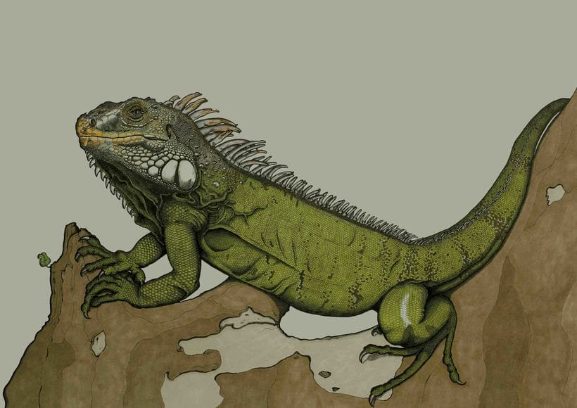 Iguana iguana -1