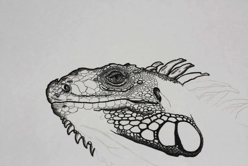 Iguana iguana 0