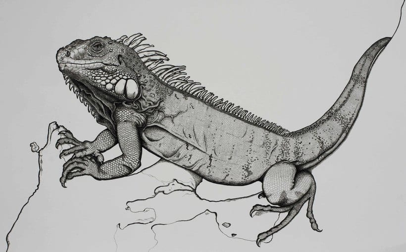Iguana iguana 3