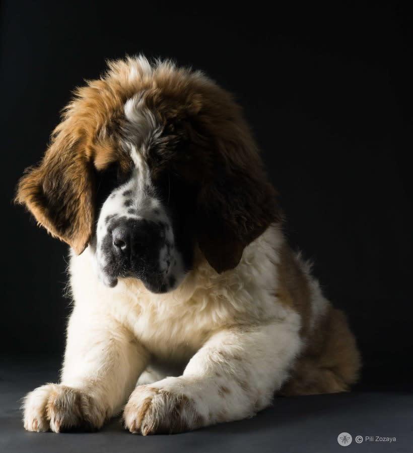 San Bernardo, dogs 0