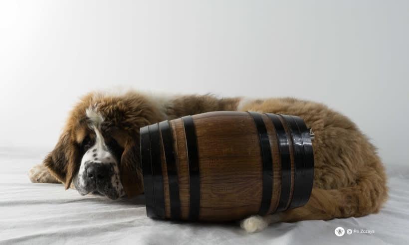 San Bernardo, dogs 1
