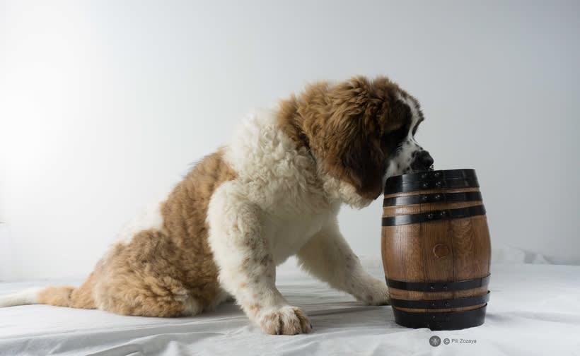 San Bernardo, dogs 2