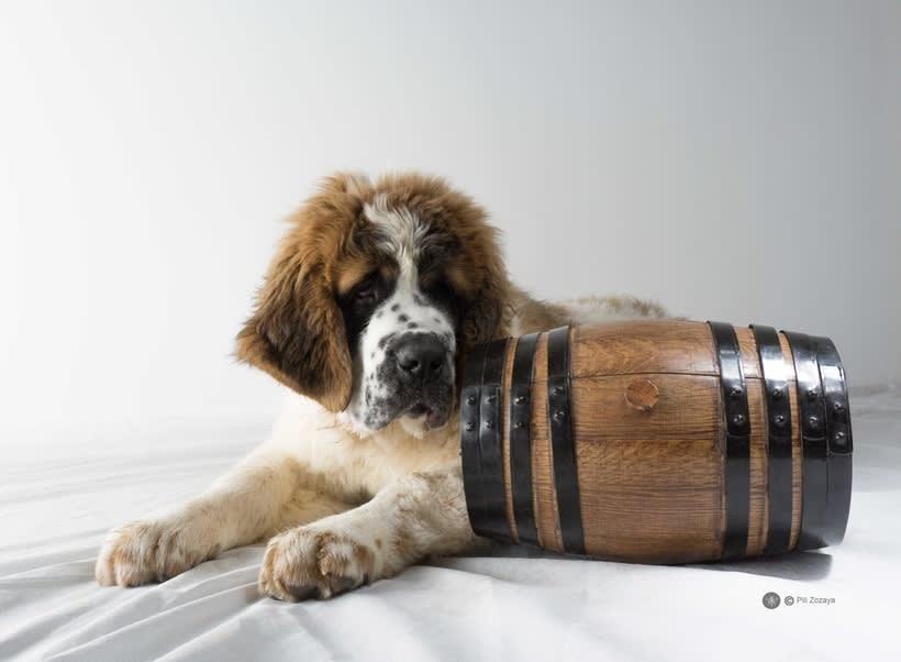 San Bernardo, dogs 3