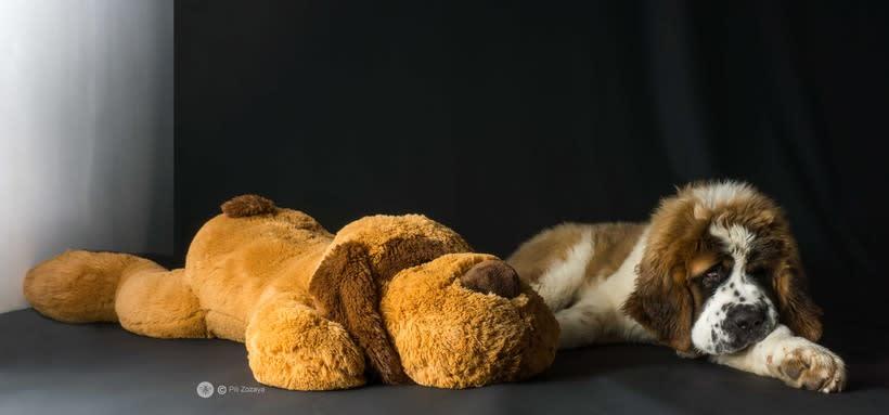 San Bernardo, dogs 4