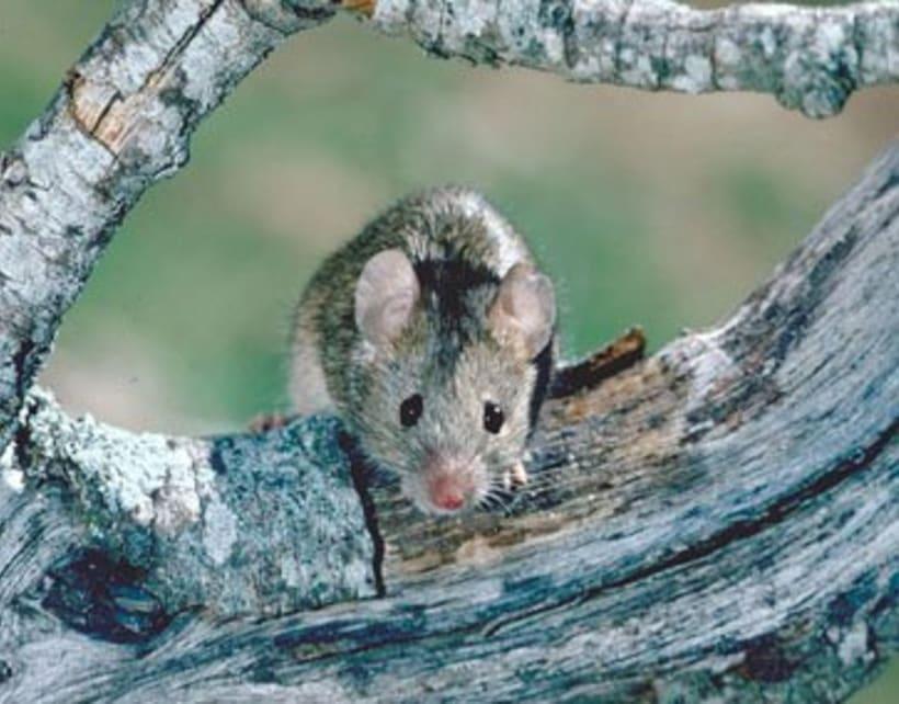 La Ratita que abandonó su lacito -1