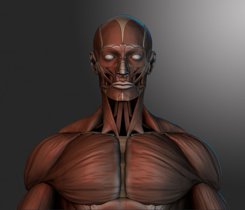 human muscles -1