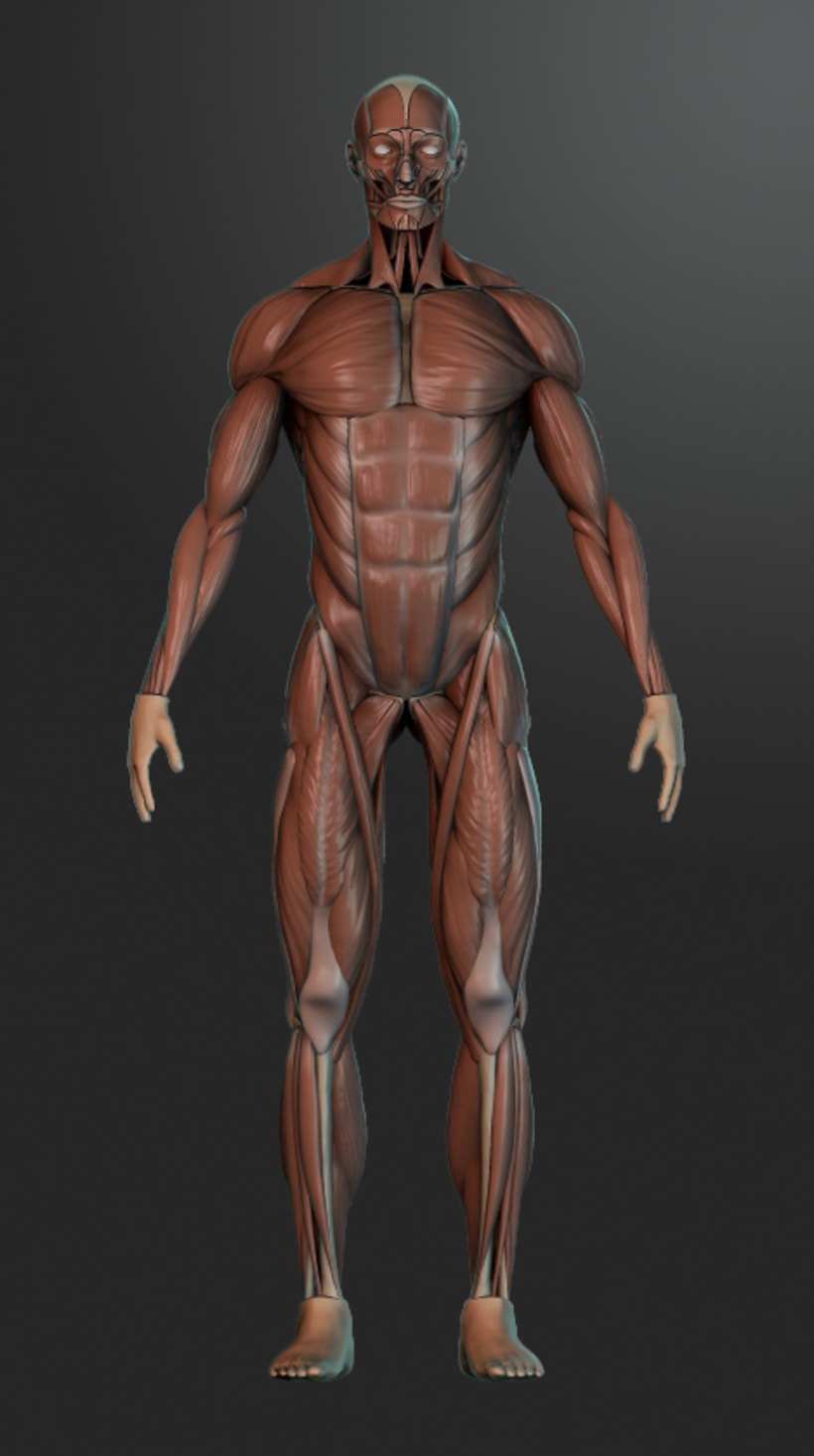 human muscles 0