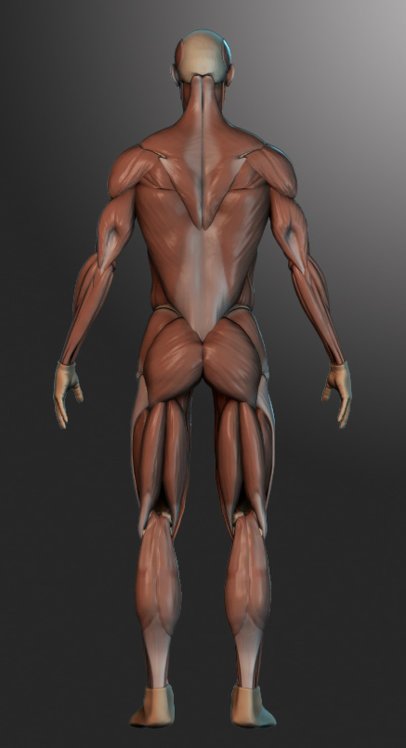 human muscles 1